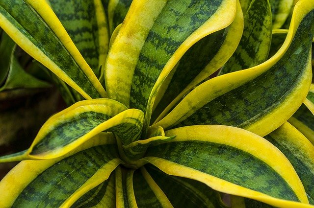 sansevieria plant benefits
