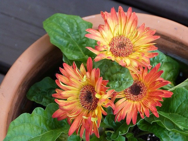 Gerbera Daisy - Plants that make you sleep better