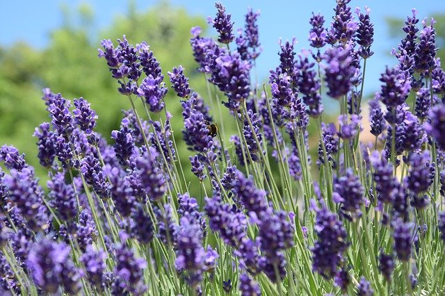 Lavender - Plants that make you sleep better