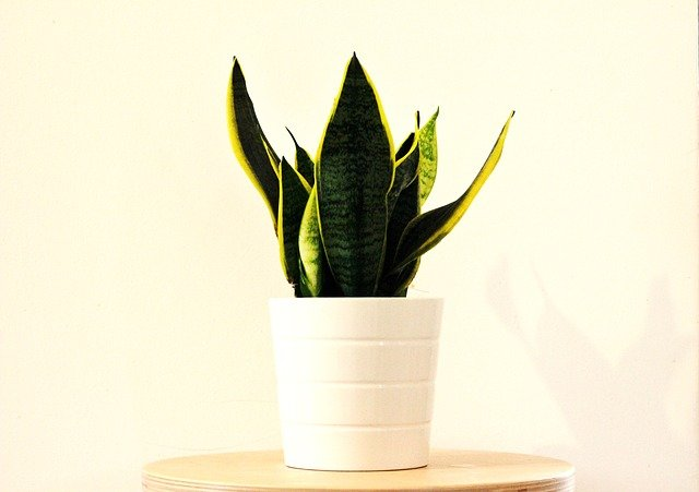 Snake Plant - Plants that make you sleep better