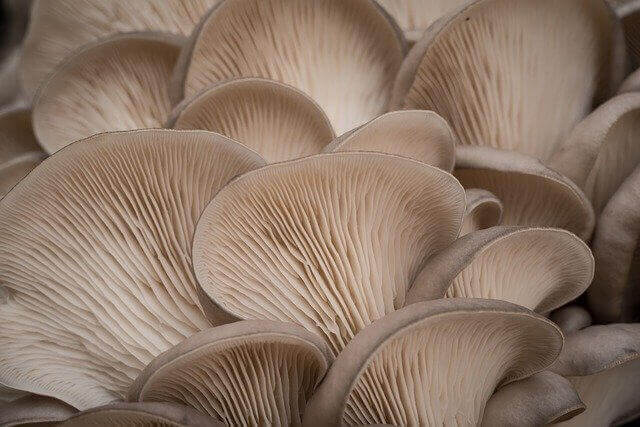 How To Store Oyster Mushrooms In Fridge - Fresh and good quality