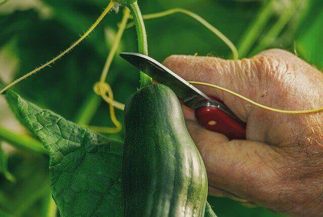 How To Store Cucumbers To Last Longer - Choose fresh cucumber