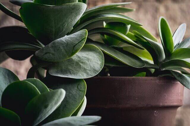 Houseplants That Help With Allergies